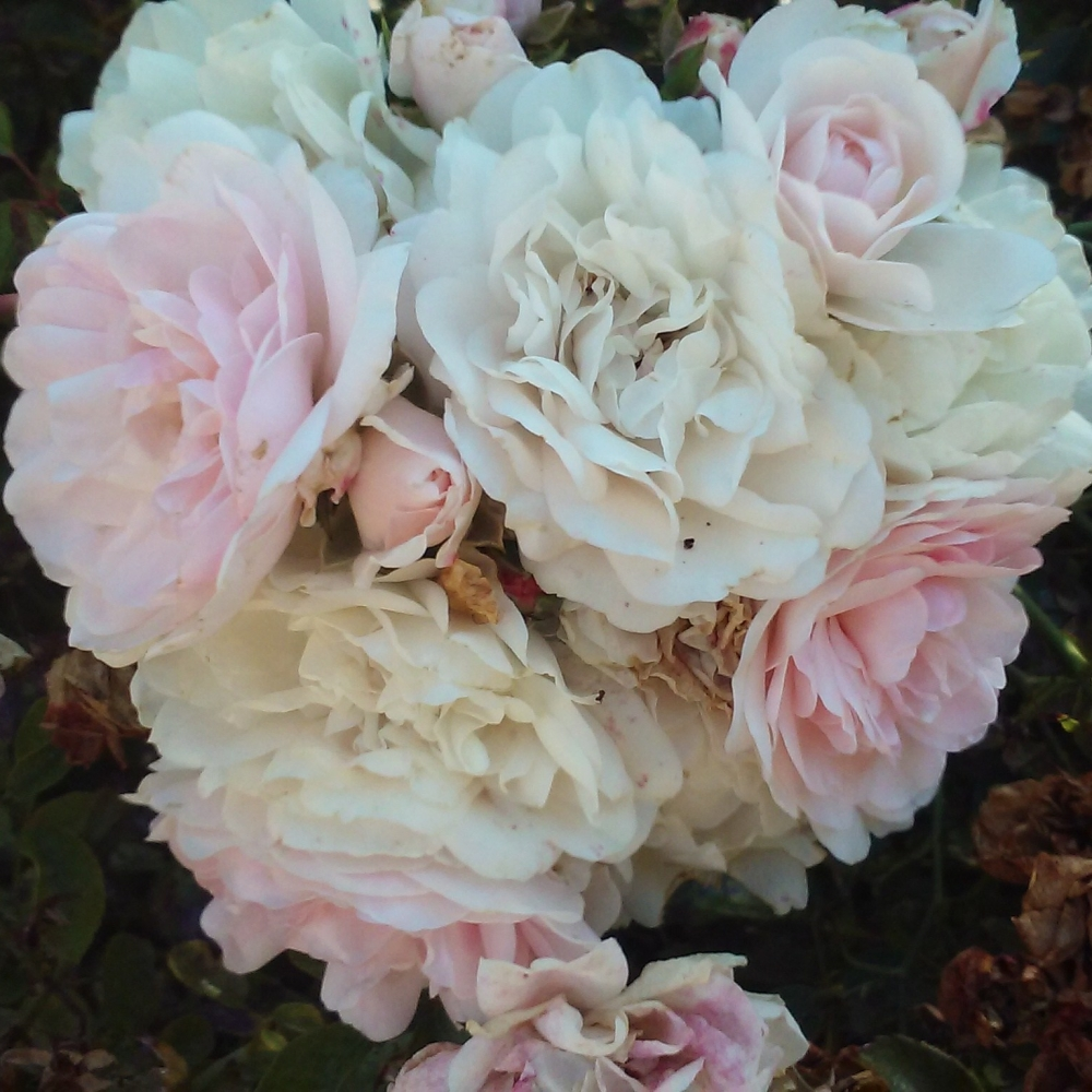 Heritage Roses. Our guesthouse is located in temperate climate area Sonoma Valley. Flowering bushes are a common sight.