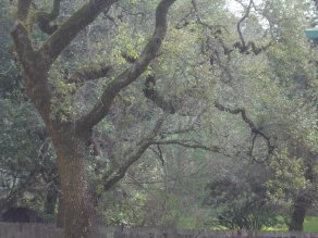 Ancient oaks surround the private complex where our Sonoma Valley Vacation Guesthouse is located.